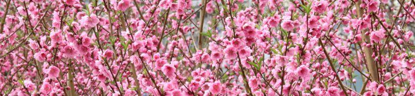 馬絹の花桃